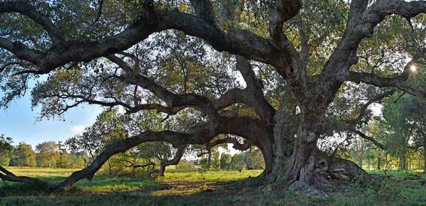 La Belle Colline Oak, near Sunset, LA – 34'