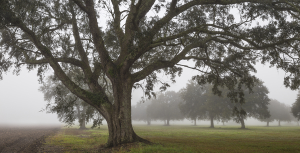 Acadia Plantation Oaks in fog, study #2