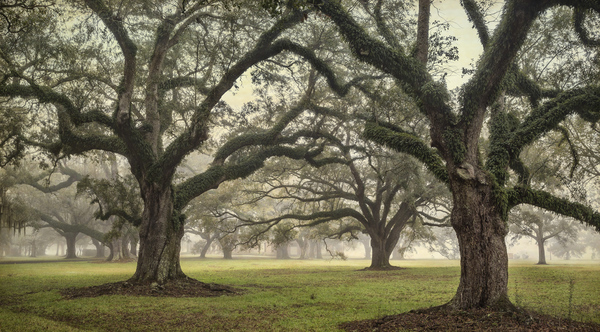 Acadia Plantation Oaks in fog, study #4