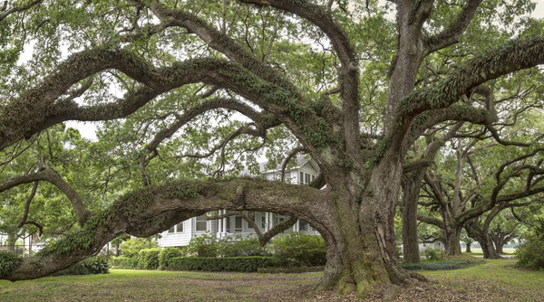 Clotilda oaks, Clotilda Plantation, Mathews, LA
