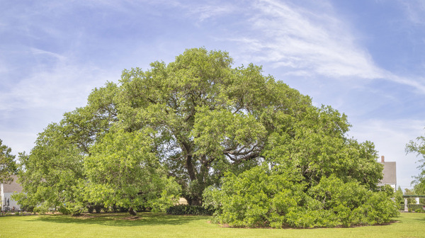 Bouveran oak, wide angle view