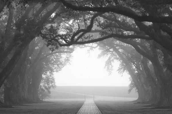 Oak Alley oaks, end of alley in fog