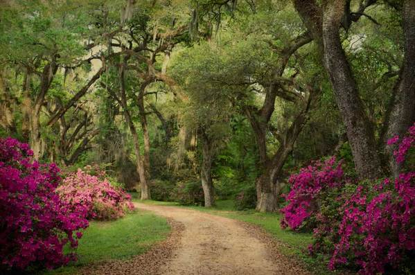 Oak alley with azaleas, St. Francisville, LA