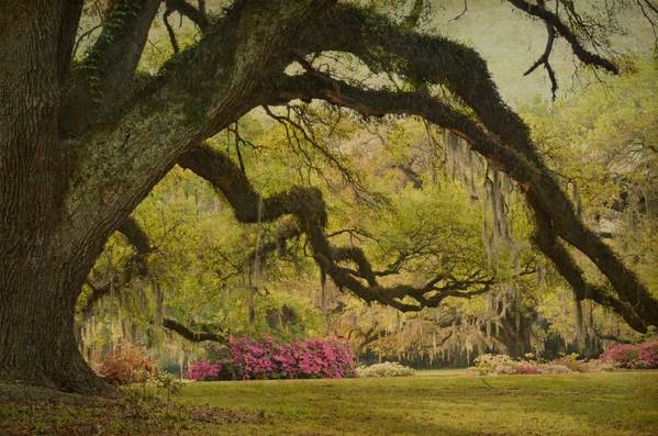 Oak limb and azaleas, The Oaks Plantation, St. Francisville, LA