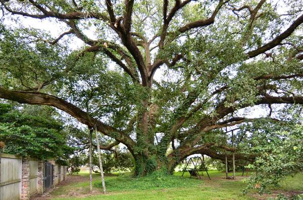 Governor's Oak, Baton Rouge, LA – 33'-3