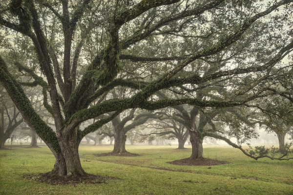Acadia Plantation Oaks in fog, study #5