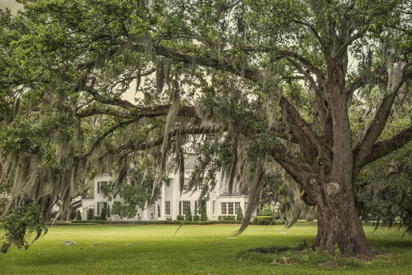 Coulon Plantation house framed by oak, 2017