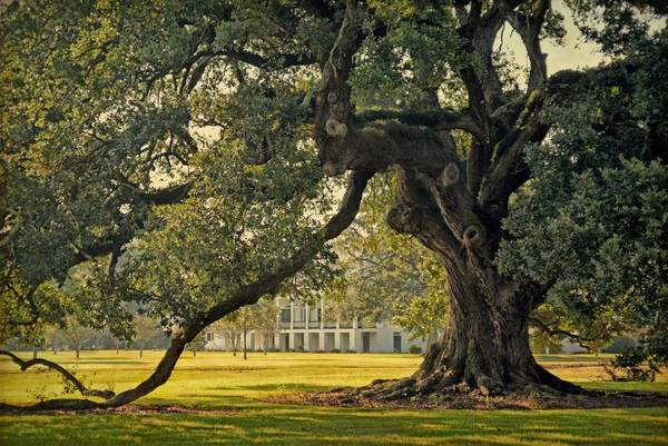 St. Joseph Plantation Oak, August morning light study 1