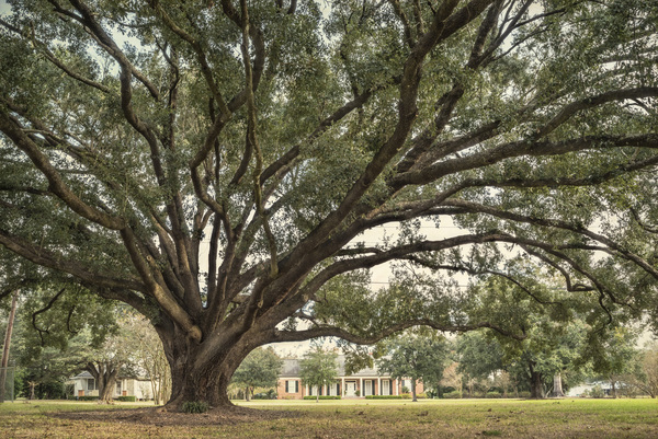 Bayou Lafourche GEM Oak, view from bayou side of oak