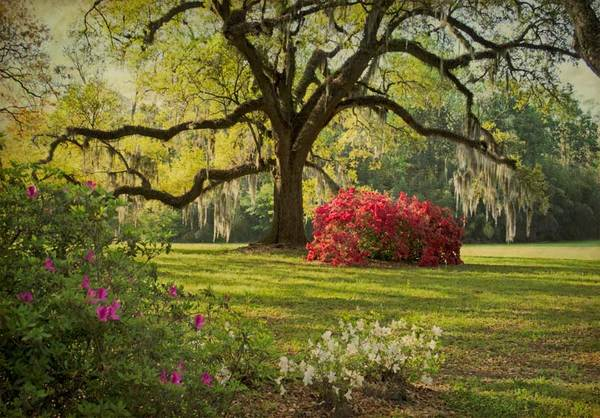 Oak and azaleas, The Oaks Plantation, St. Francisville, LA