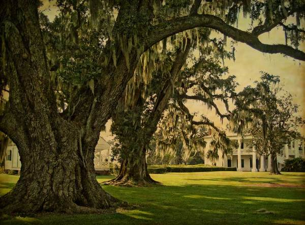 Evergreen Plantation, two oaks and main house