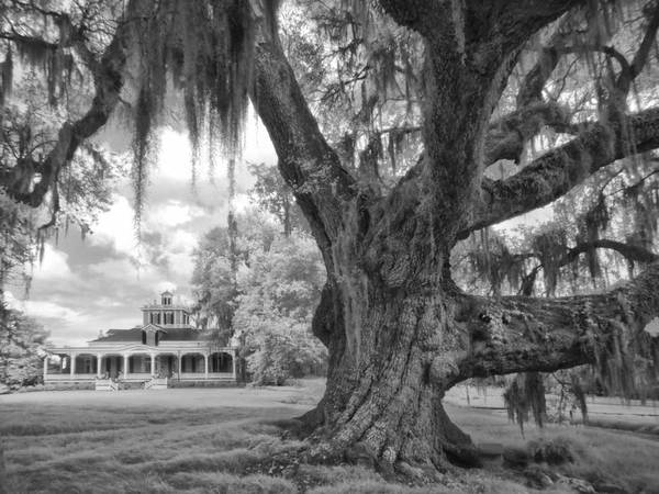 Cleveland Oak and house, infrared study 3, Jefferson Island