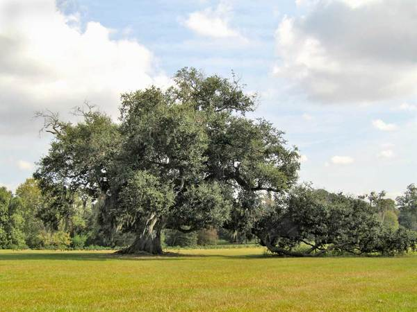 Jefferson Island Oak, near New Iberia, LA - 28'-5