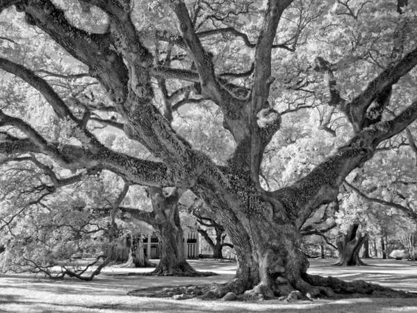 Andrew Oak, infrared study, Oak Alley