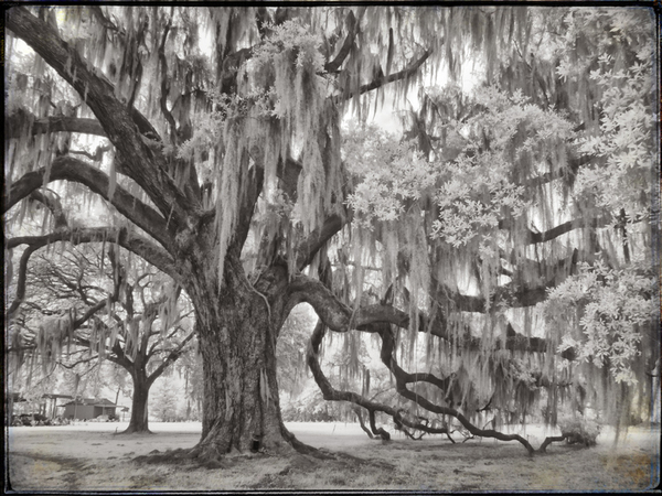 Coulon Plantation, senior oak, infrared study 2