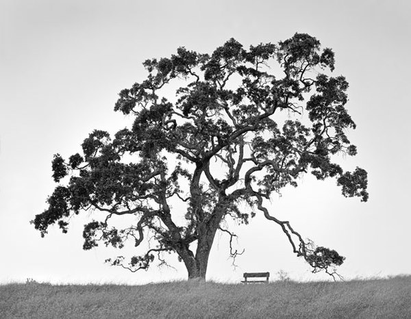 Oak and bench, Coe Park, CA
