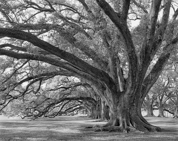 Josephine Oak, Oak Alley Plantation, Vacherie, LA – 29'-11