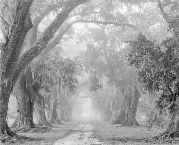 Evergreen Plantation old allee' in fog