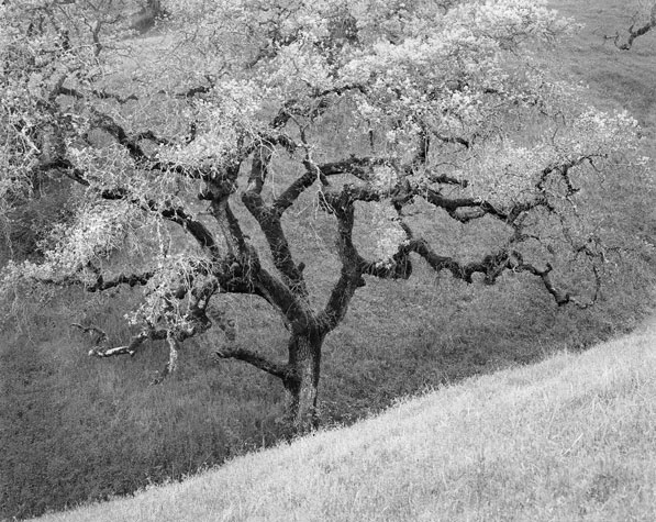 Oak, hillside, winter, Coe Park, CA