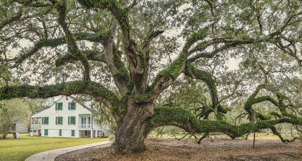 Edward Douglas White Oak, near Thibodaux, LA