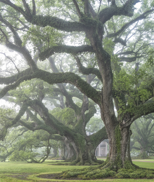 East row of oaks, early morning fog, vertical view