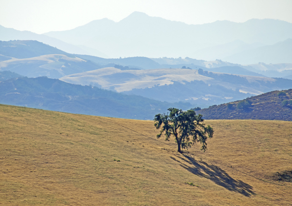 Valley Oak and mountain range, near Paso Robles, CA