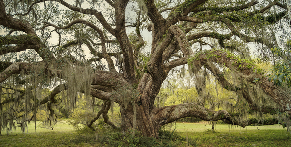 Oak in field, Avery Island, LA