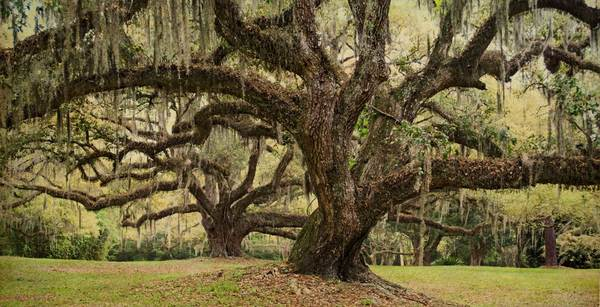 Two oaks, Jungle Gardens, Avery Island, LA