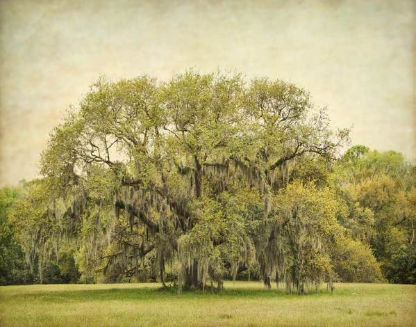 Live Oak in bloom (catkins), spring, near Avery Island, LA