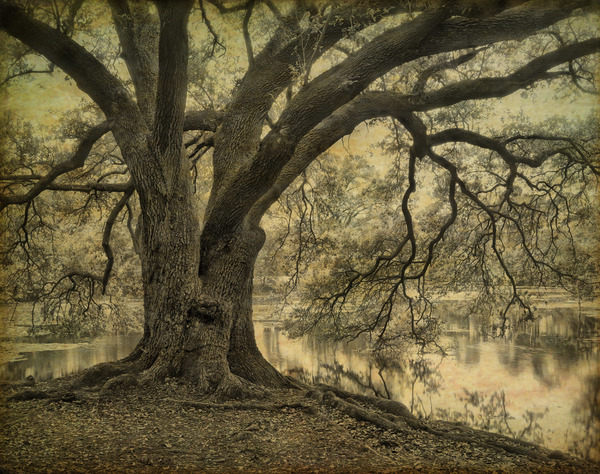 Oak and bayou, New Orleans, 12