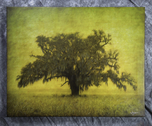 Oak in cane field, near Raceland - colored print on canvas